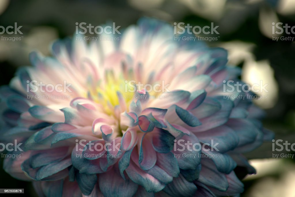 Delicate blue flower - Royalty-free Beauty In Nature Stock Photo