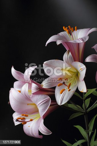 Delicate bright lily flowers on a black background, natural colors, great decor for forming a wedding invitation, gift, holiday greetings.
