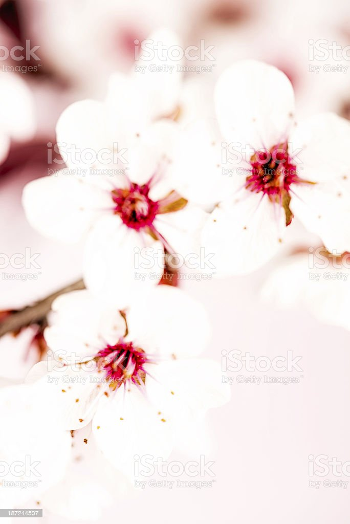 Delicate Cherry Blossom royalty-free stock photo