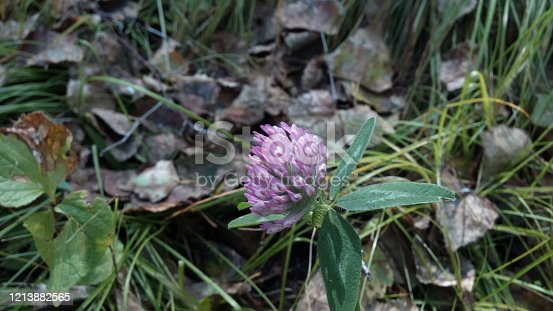 Delicate clover flower in late autumn among dry, fallen leaves