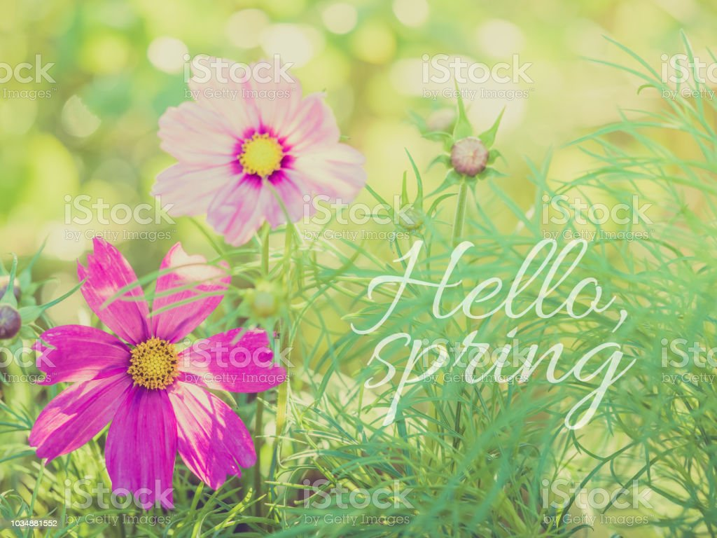 delicate cosmea flower on green plant floral background, toned image, banner with written quote: hallo spring