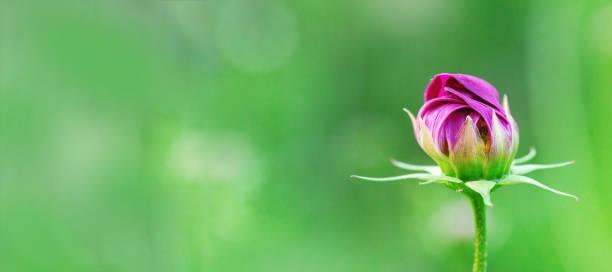 微妙的宇宙花在模糊的綠色背景。盛開的花朵在自然界。新鮮的封閉芽。選擇性對焦。 - 芽 個照片及圖片檔