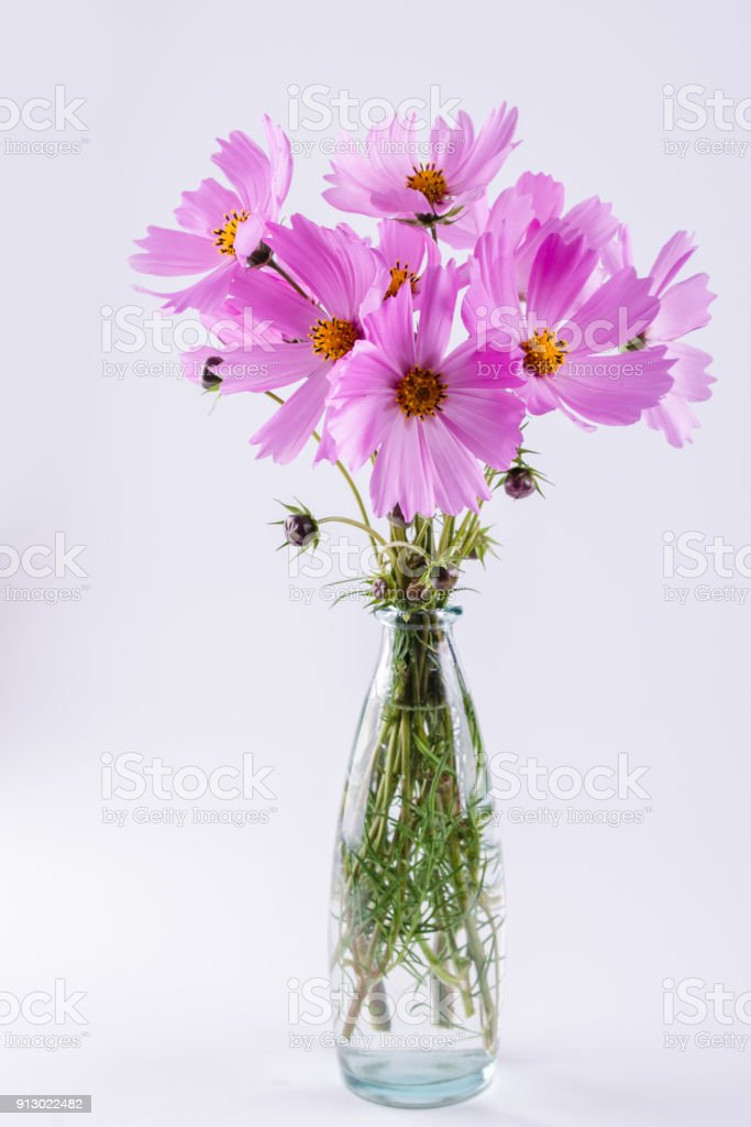 Delicate cosmos pink flowers in glass vase on white background stock delicate cosmos pink flowers in glass vase on white background royalty free stock photo mightylinksfo