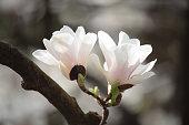 istock Delicate cream magnolias 951344850