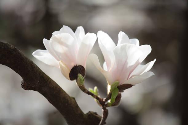 Zarte Creme Magnolien – Foto