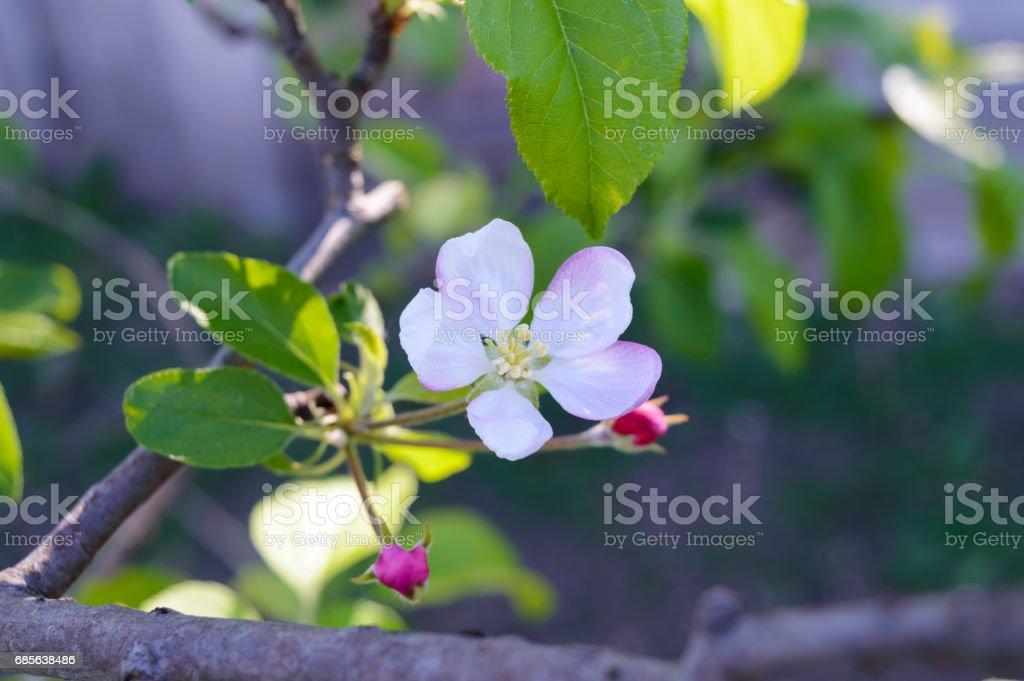 繊細な花リンゴの木の枝に芽を残します。クローズ アップ。選択と集中。 ロイヤリティフリーストックフォト