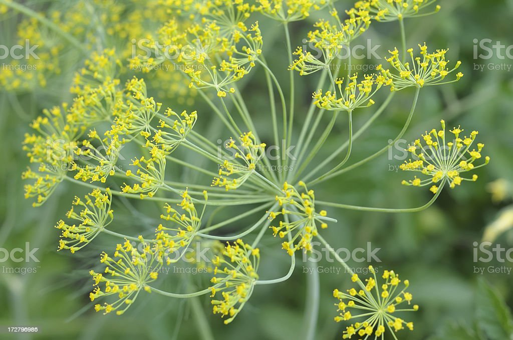delicate flowers of dill in garden setting royalty-free stock photo