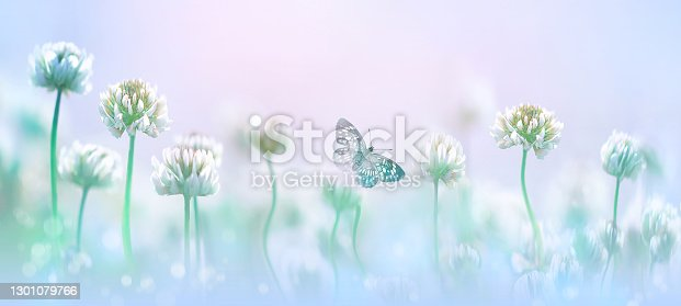 Delicate flowers of white clover and butterfly in pastel colors. Spring summer blur macro  background. Copy space.