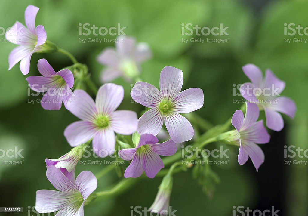 Delicate Flowers royalty-free stock photo