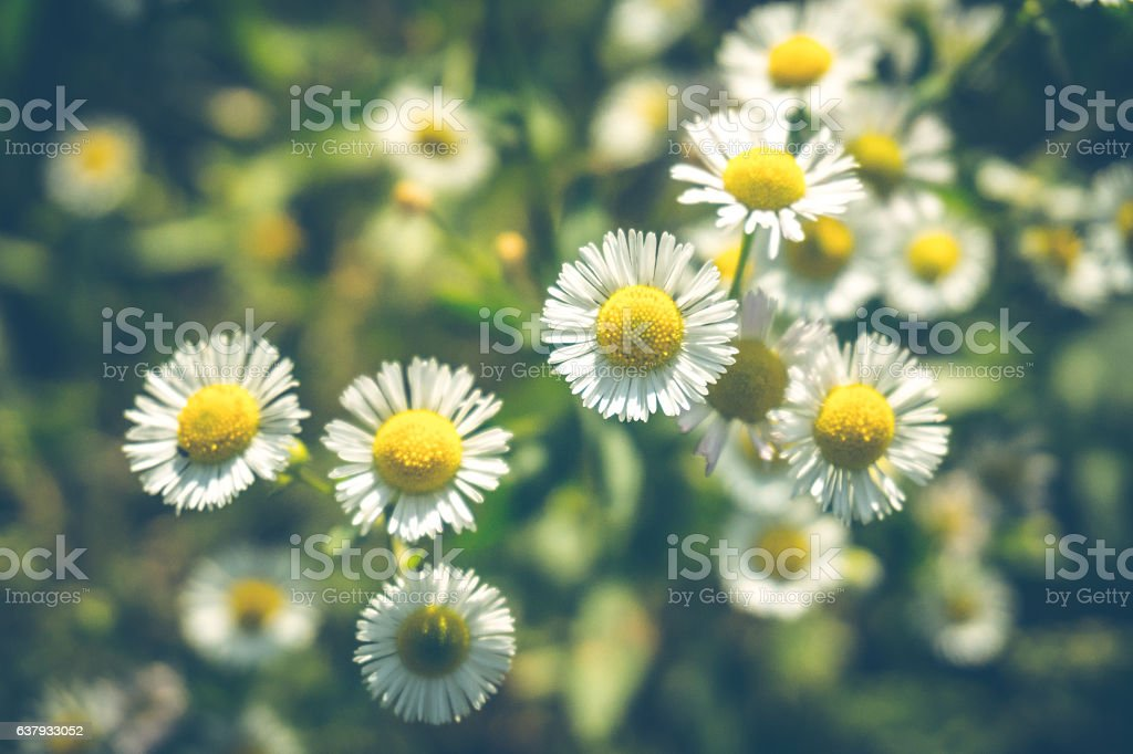 Delicate flowers wild daisies stock photo