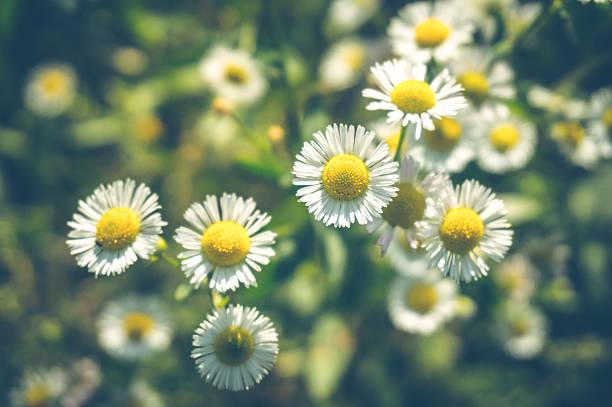 delicate flowers wild daisies - planta de manzanilla fotografías e imágenes de stock