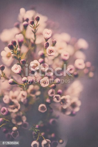 istock Delicate fresh waxflowers in vase against black background 512635034
