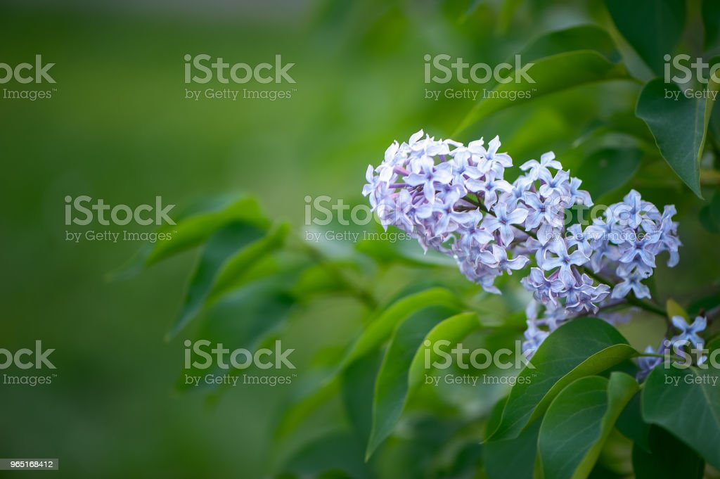 Delicate lilac on green, natural background, space for text, postcard royalty-free stock photo