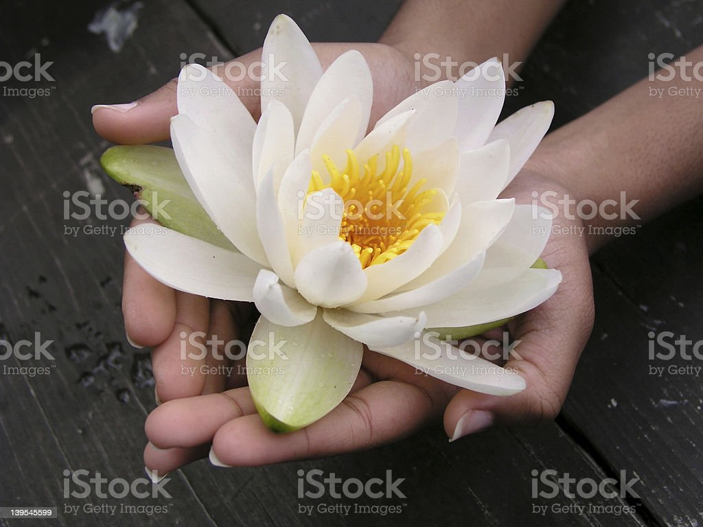 Delicate Lotus royalty-free stock photo