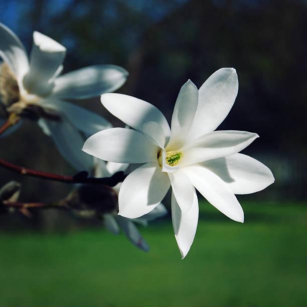Zarte magnolia flower. Retro Foto. – Foto