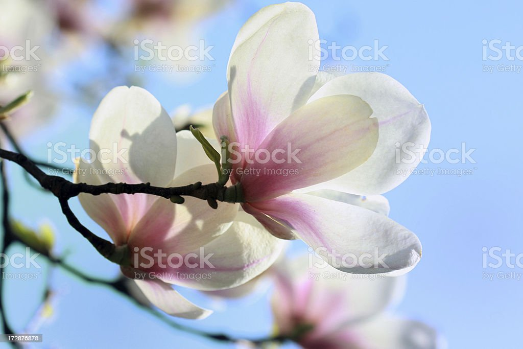 Delicate magnolia stock photo