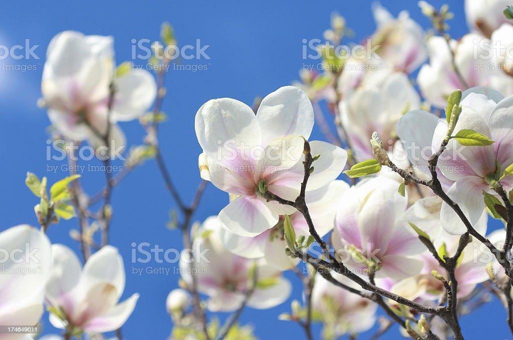 Delicate magnolias royalty-free stock photo