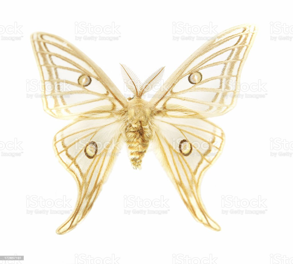 Delicate Moth royalty-free stock photo