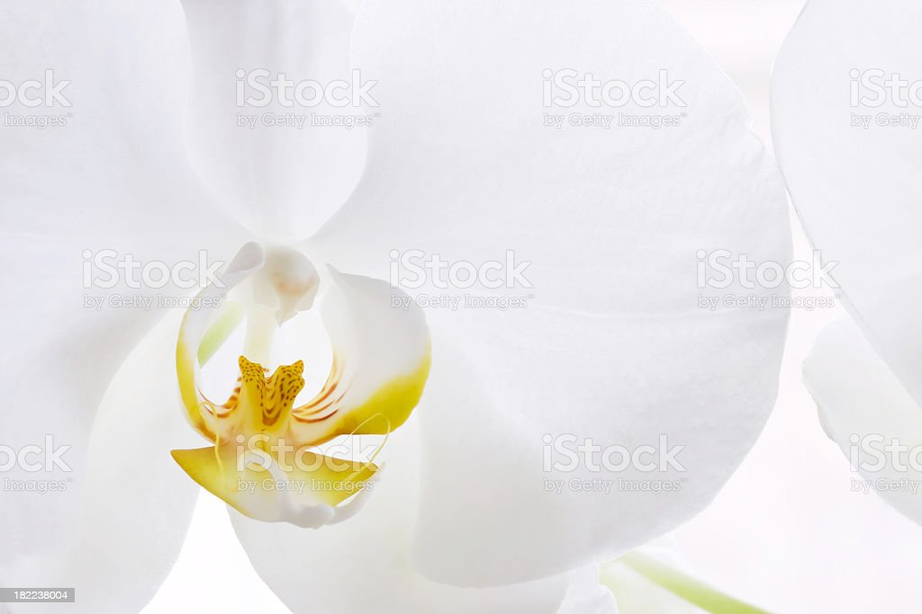 Delicate Orchid royalty-free stock photo