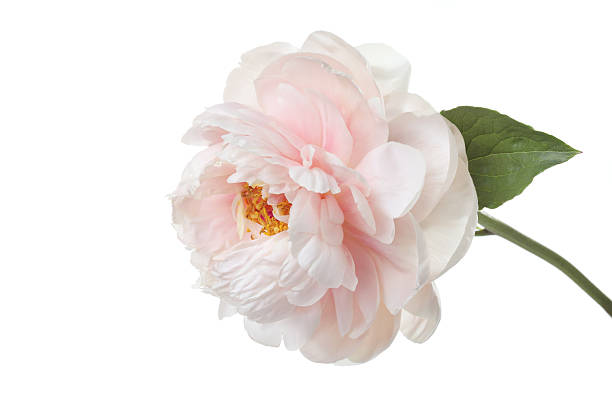 Delicadas flores rosa-pálido peony isolado no fundo branco - foto de acervo