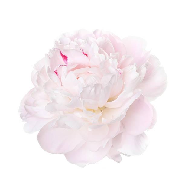 Delicado rosa-pálido peony isolado em um fundo branco - foto de acervo