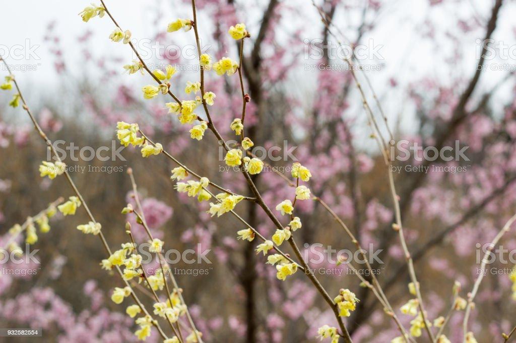 Delicate pale yellow flowers of hyugamizuki with pink cherry delicate pale yellow flowers of hyugamizuki with pink cherry blossoms behindhanamiyama parkfukushima mightylinksfo