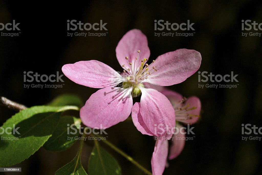 Delicate peach blossoms royalty-free stock photo