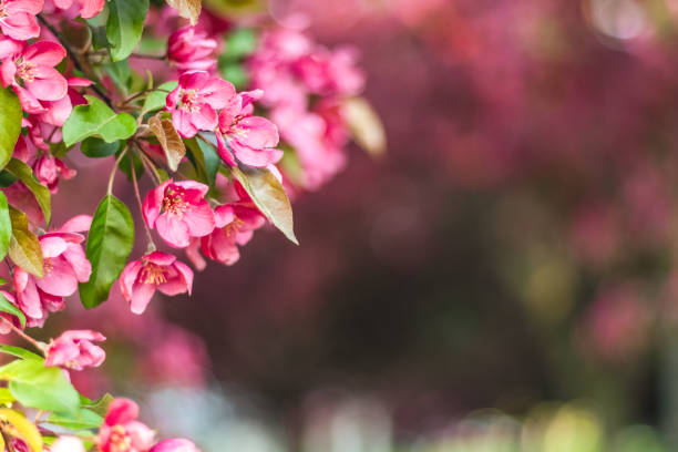 Delicate pink apple tree blossom stock photo