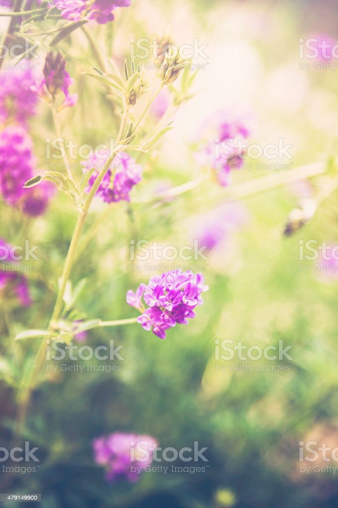 Delicate pink blooms in lush green foliage. Colorado wildflowers. stock photo