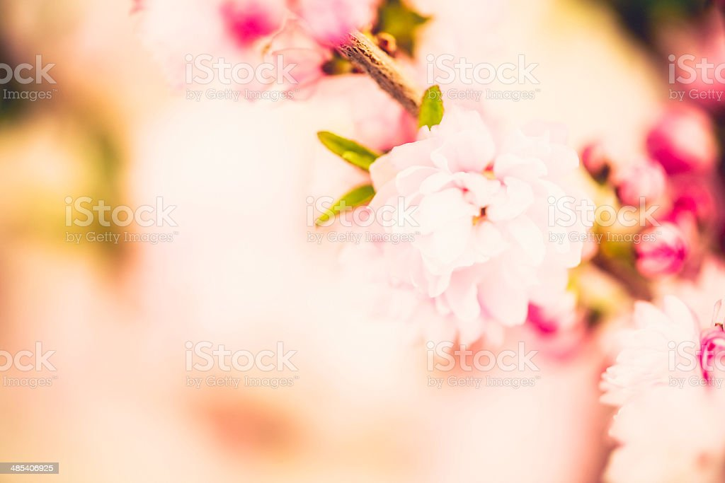Delicate Pink Blossoms royalty-free stock photo