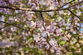 istock Delicate pink cherry blossoms on a blurry background. 1317611593