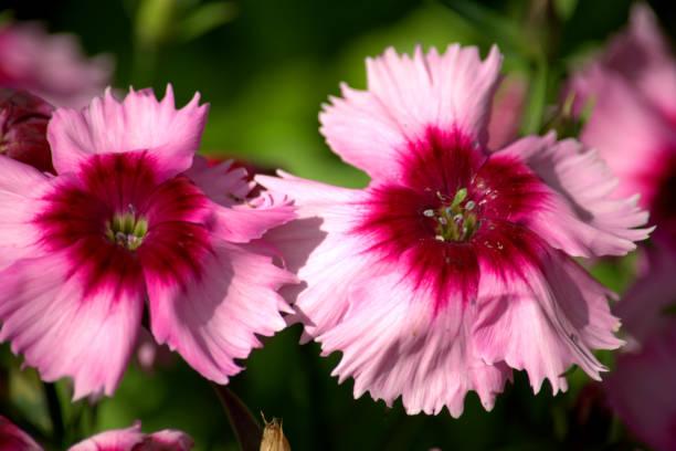 Delicada dianthus rosa ou flor de cravo - foto de acervo