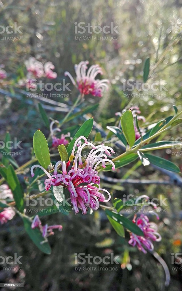 Delicate pink flowers of Grevillea sericea royalty-free stock photo