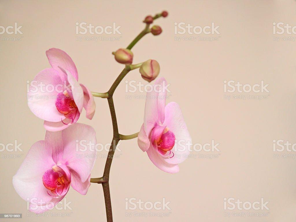 델리케이트 핑크 연자주색 꽃 royalty-free 스톡 사진