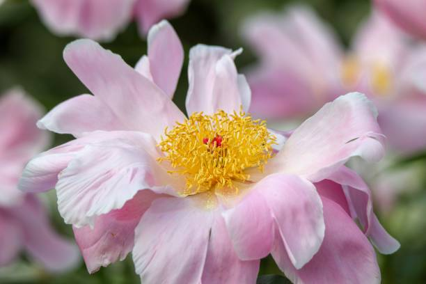 Delicate Pink Peony Flower in a garden stock photo