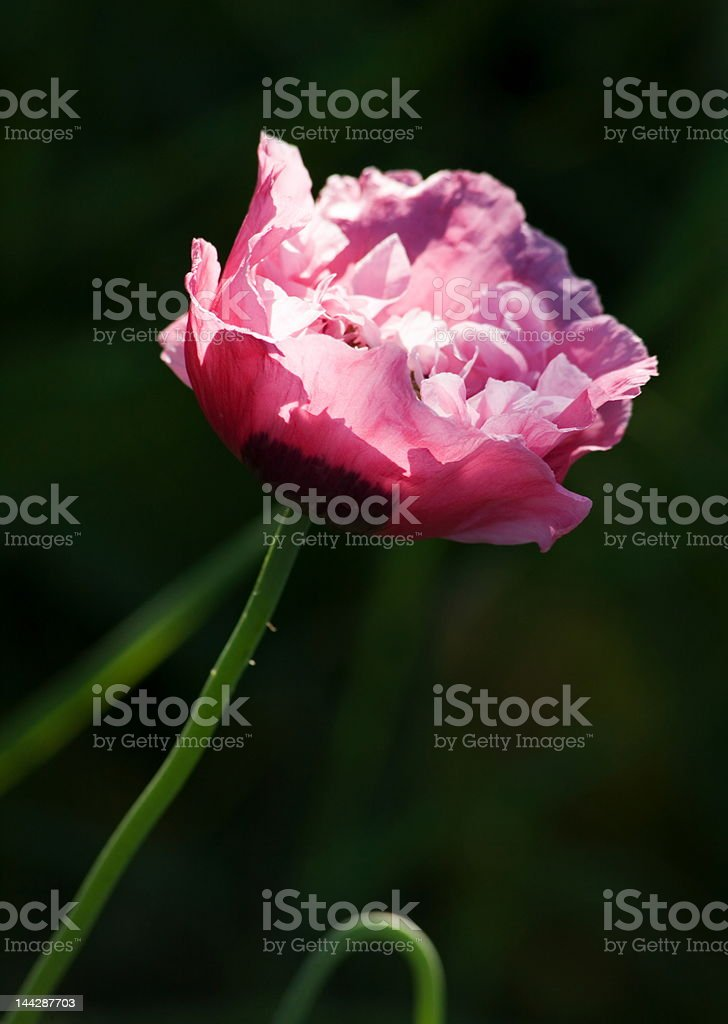 delicate pink poppy royalty-free stock photo