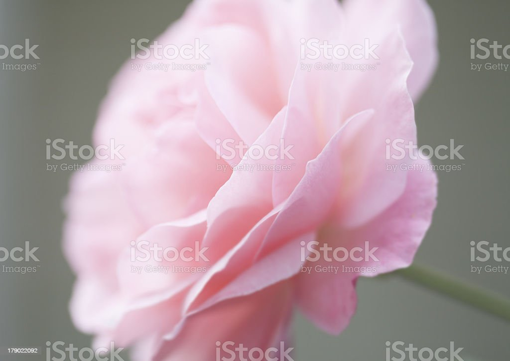 Delicate pink Rose royalty-free stock photo