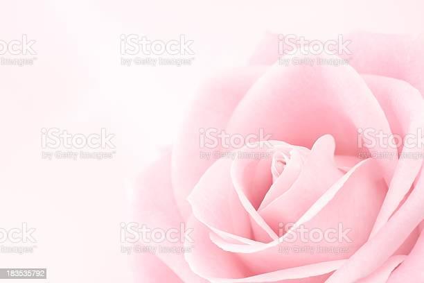 Delicate pink rose picture id183535792?b=1&k=6&m=183535792&s=612x612&h=a9luiv xjf 5ya1sq4b5iu6gzozu79aozckbsf73u1g=