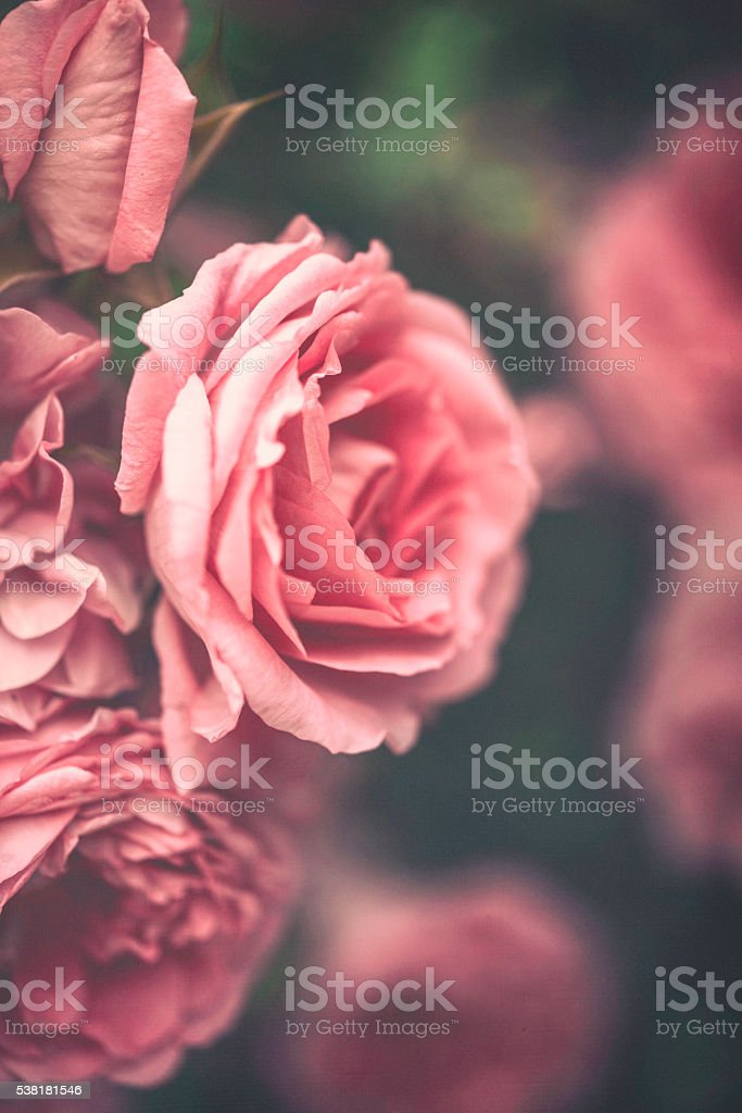 Delicate pink roses in full bloom stock photo