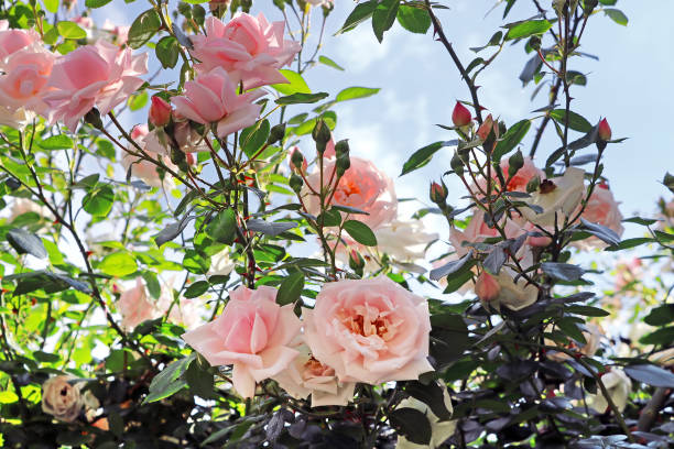 Delicate pink roses on the bush picture id700293290?b=1&k=6&m=700293290&s=612x612&w=0&h=qg7cf0x6bmmfojczvo0brr302iw1az rz5oq jtupge=