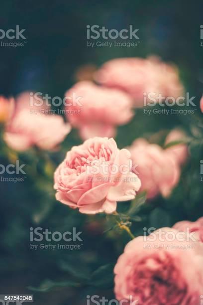 Delicate pink roses picture id847542048?b=1&k=6&m=847542048&s=612x612&h=nkvlw p84sl 8ifyifsol3huuax3aboeu4i46cz8uwq=