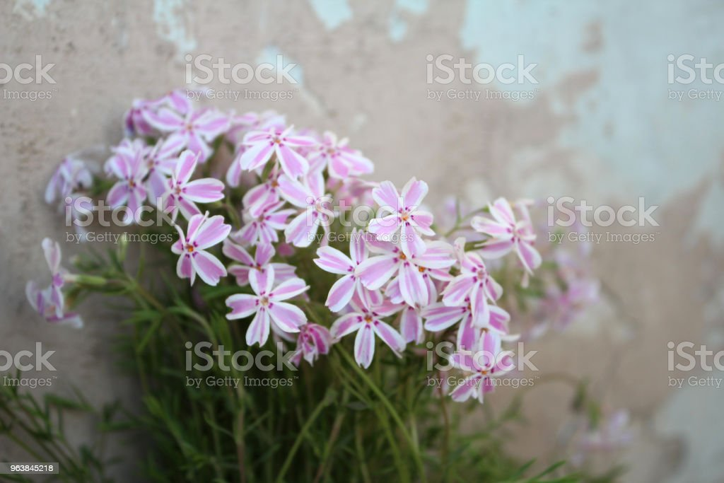 Delicate pink small flowers on a grunge light background - Royalty-free Bouquet Stock Photo
