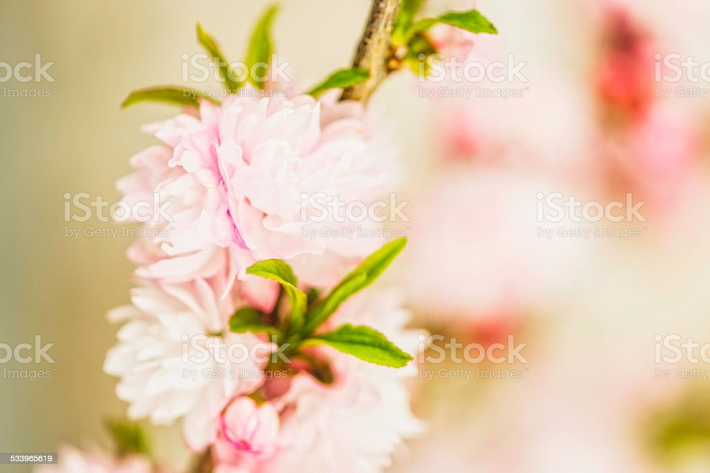 Delicate pink spring blossoms with copy space stock photo