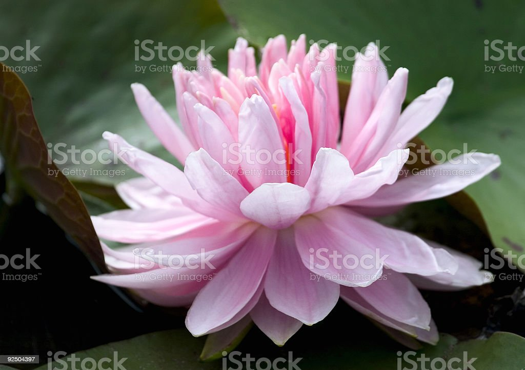 delicate pink waterlily royalty-free stock photo
