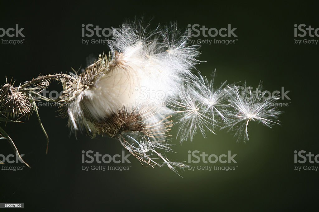 Delicate Puffs royalty-free stock photo