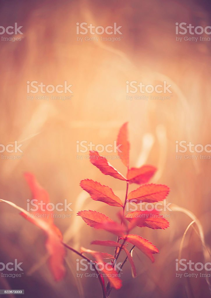 Delicate red leaved plant swaying in wind and sunlight stock photo