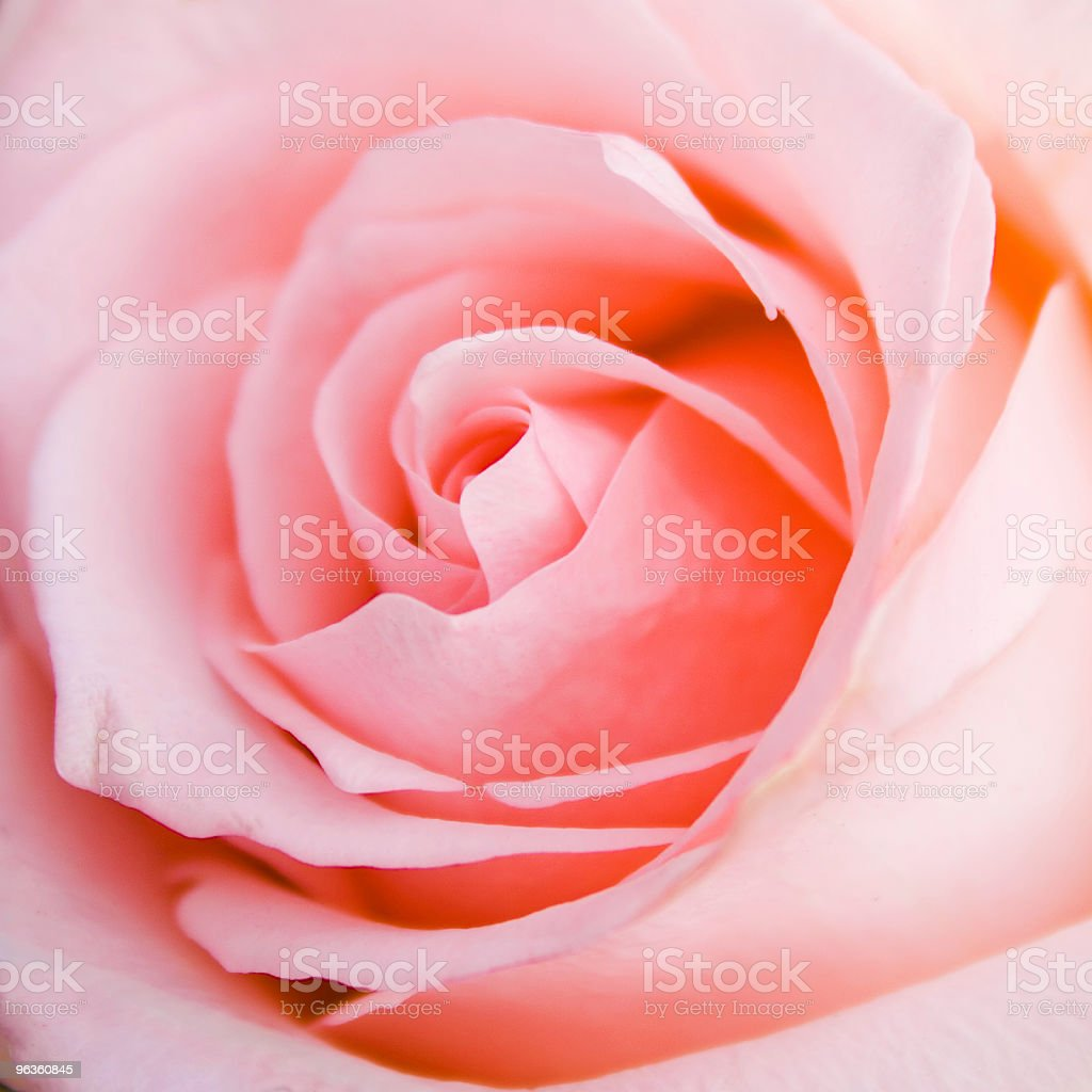 Delicate Rose royalty-free stock photo