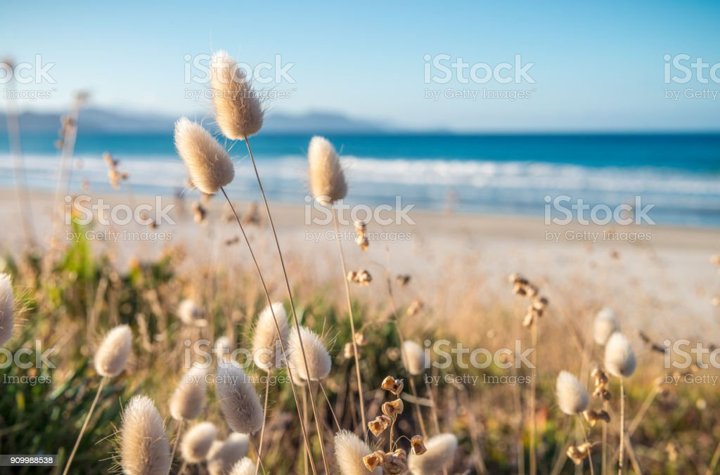 Delicate soft grass growth in sand dunes on idyllic New Zealand beach stock photo