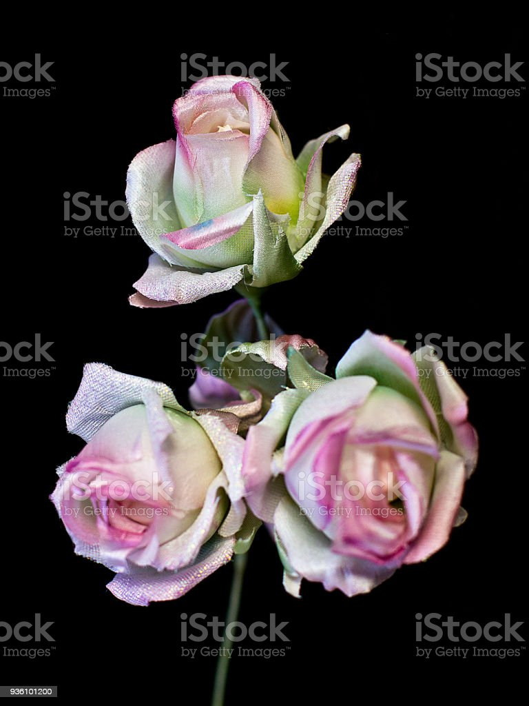 Delicate Spring Pink Roses Isolated On The Black Background
