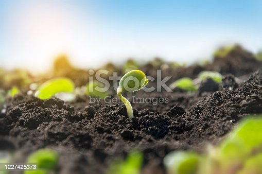 Delicate tiny sprout of a soybean plant on an agricultural field. The plant reaches for the sun in the morning rays.